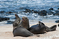 Hawaiian monk seals, Neomonachus schauinslandi, Critically Endangered endemic species; a 20+ year old male (R306), center, fights with a 5 year old male (RO36), left front, over a female (R318), on the right; west end of Molokai, Hawaii