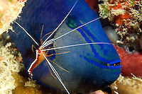 The cleaner shrimp, Lysmata amboinensis, is taking a close look for parasites on this redtooth triggerfish, Odonus niger.  Mabul Island, Malaysia.