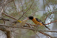Black-headed Grosbeak, Pheucticus melanocephalus, male feeding young, Paradise, Chiricahua Mountains, Arizona, USA, August 2005