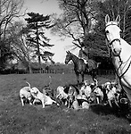 The Quantock Staghounds. The whipper-in and the huntsman keep the hounds gathered together and separated from the main body of the hunt and their guests. Woodlands, Holeford, Somerset..Hunting with Hounds / Mansion Editions (isbn 0-9542233-1-4) copyright Homer Sykes. +44 (0) 20-8542-7083. < www.mansioneditions.com >.