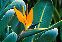 The beautiful Bird of Paradise.
