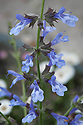 Salvia 'African Sky', early July.