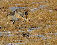 When a coyote(Canis latrans) is hunting small animals such as mice, they slowly stalk through the grass, and use their acute sense of smell to track down the prey. When the prey is located, the coyotes stiffen and pounce on the prey in a cat-like manner. Their long tail goes straight out behind them just before they jump. Cascade Meadows, Canyon area, Yellowstone.