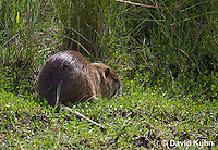 0610-0901  Nutria (Coypu) Feeding on Aquatic Vegetation, Myocastor coypus  © David Kuhn/Dwight Kuhn Photography