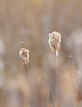 Cattail seed heads have bursted open to release seeds from last years plants