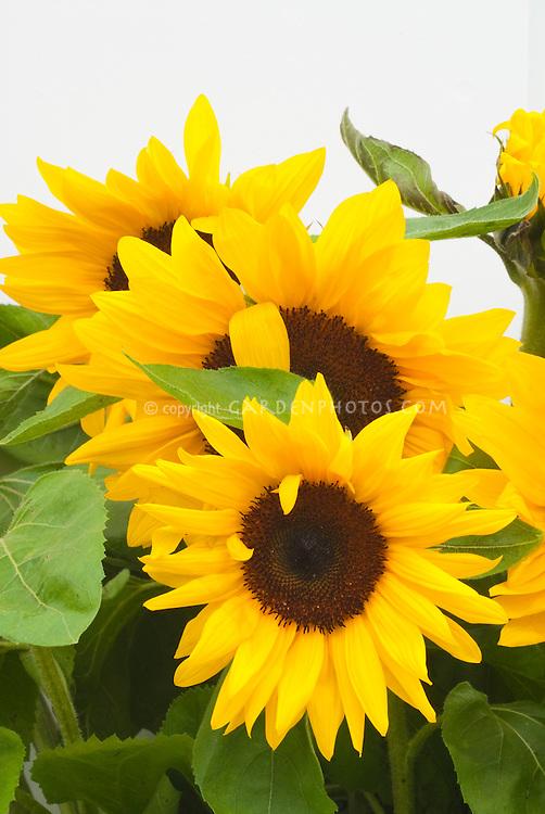 Sunflowers Full Sun Helianthus