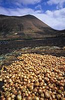 Europe/Espagne/Iles Canaries/Lanzarote/Env de Teguise : Récolte des oignons