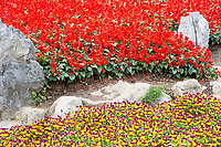 Yangzhou, Jiangsu, China.  Red Salvia (Scarlet Sage) and Violas in Slender West Lake Park Garden.