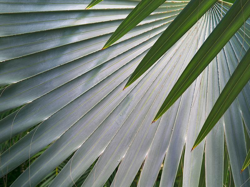 Close up of leaves of Bizmarkia Palm. St John, Virgin Islands