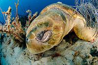 Female Loggerhead Sea Turtle (Caretta caretta) sleeping on the reef in Palm Beach during nesting season, June through August.