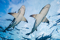 lemon shark, Negaprion brevirostris, with remoras, West End, Grand Bahama, The Bahamas, Caribbean Sea, Atlantic Ocean