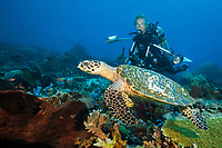 Hawksbill Sea Turtle and Scuba diver, Eretmochelys imbricata, Komodo National Park, Lesser Sunda Islands, Indonesia, Pacific Ocean, MR