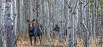 Grand Teton National Park, Wyoming, USA , moose in aspens