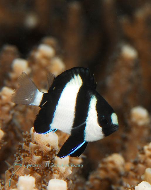 Damselfish-Humbug Dascyllus, Dascyllus aruanus, Lembeh Straits, Sulawesi Sea, Indonesia, Amazing Underwater Photography