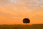 Solitary oak tree, clouds in the golden hills, passing summer storm at sunset, Amador County, Calif.