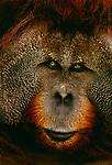Sumatran orangutan portrait