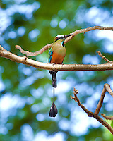 Turquoise-Browed Motmot, Quirigua, Guatemala