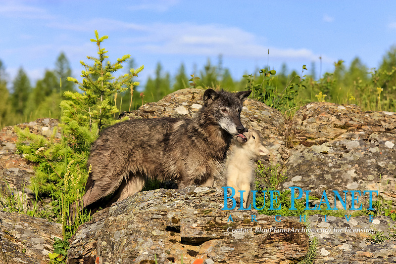 Timber Wolf (Canis lupus), adult female with eight-week old pup, begging for food amongst rocks, captive, Montana, USA, North America