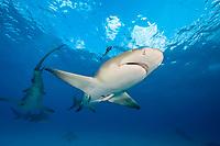 lemon shark, Negaprion brevirostris, with remora, sharksucker, Bahamas, Atlantic Ocean