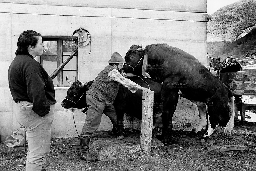 Switzerland. Canton Valais. Hèrens valley. Evolène. Breeding animals. The wife (L) smokes a cigarette while her husband (C) watches the bull penetrating the cow. The Herens Cattle is one of the smallest cattle breeds. Their fur is dark red to brown or black. A distinguishing feature is the short and broad head, with a concave front line. The animals are very muscular, with sporting strong horns. Bulls typically reach a height of 125-134 cm, weighing 650-700 kg. Cows reach 118-128cm and 500-600 kg. Swiss alpine farmers. Alps mountains peasants.  © 1996 Didier Ruef