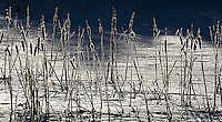 Frosty cattails are backlit by the morning sun.