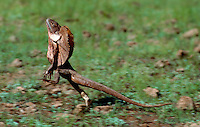 On the run - The frill-necked lizard (Chlamydosaurus kingii), also known as the frilled lizard or frilled dragon, is found mainly in northern Australia and southern New Guinea.