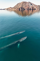fin whale, blaenoptera physalus, pair, surfacing, Baja California, Mexico, Gulf of California, aka Sea of Cortez, Pacific Ocean