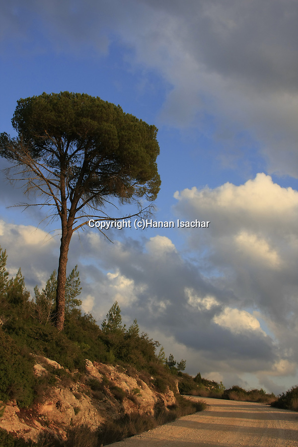 Israel, Jerusalem Mountains, a pine tree by Diefenbaker road