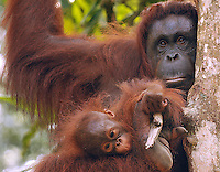 Delima's baby is never more than feet from her body at the Semenggoh Reserve, Sarawak, Malaysia, August 2009.  They  they are part of Sarawaks's Orangutang Rehabilitation Programme.  Delima is a rehabilitated Orangutang that lives semi-wild. <br /><br />Photo by Richard Jones / Sinopix