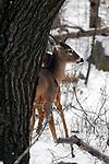 Whitetail Deer Doe in snow near tree, vertical
