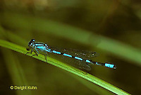 1O02-010z  Pond Damselfly male - Hagen's Bluet - Enallagma hageni