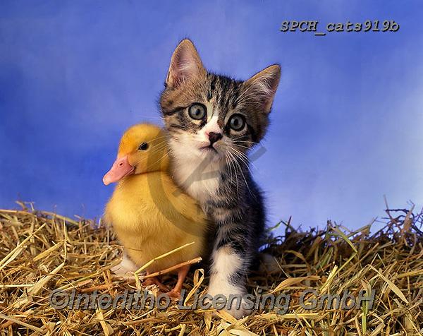 Xavier, ANIMALS, REALISTISCHE TIERE, ANIMALES REALISTICOS, cats, photos+++++,SPCHCATS919B,#a#, EVERYDAY