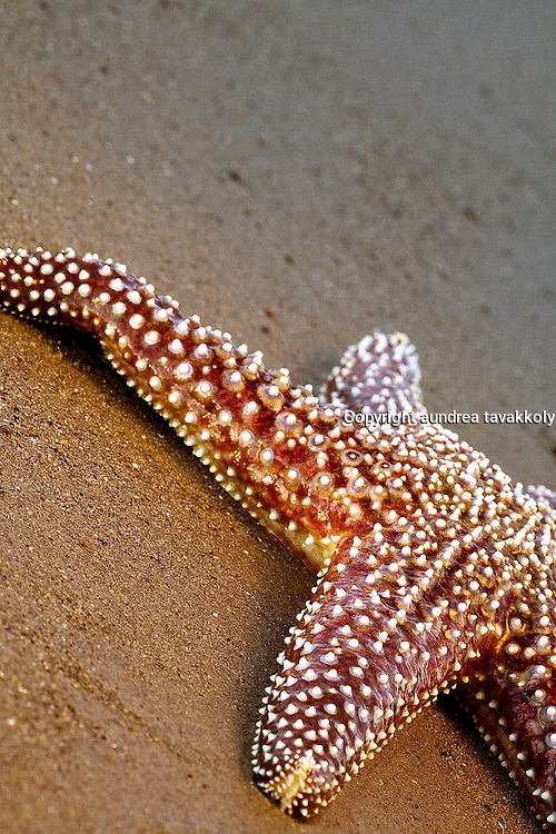 Seastar (starfish) on the sand, Gaviota Coast, Santa Barbara, California