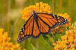 Monarch butterfly on orange flowers.