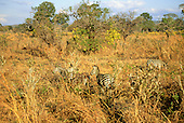 Mikumi Park, Tanzania. Wildlife safari reserve; zebras in savannah, partly hidden in the undergrowth with flowering trees.
