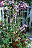 Clematis Prince Charles climbing blue picket fence with rustic watering can and several other kinds of clematis vines in flower together, including Clematis integrifolia at base, Alionushka at top in pink flowers. mixed climbers vines plants in garden