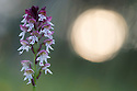 Burnt / Burnt-tip Orchid {Orchis ustulata} flowering in ancient alpine meadow at sunrise. Nordtirol, Austrian Alps. June.