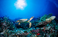 Hawksbill Turtle over Coral Reef, Eretmochelys imbricata, Maldives, Indian Ocean, Meemu Atoll