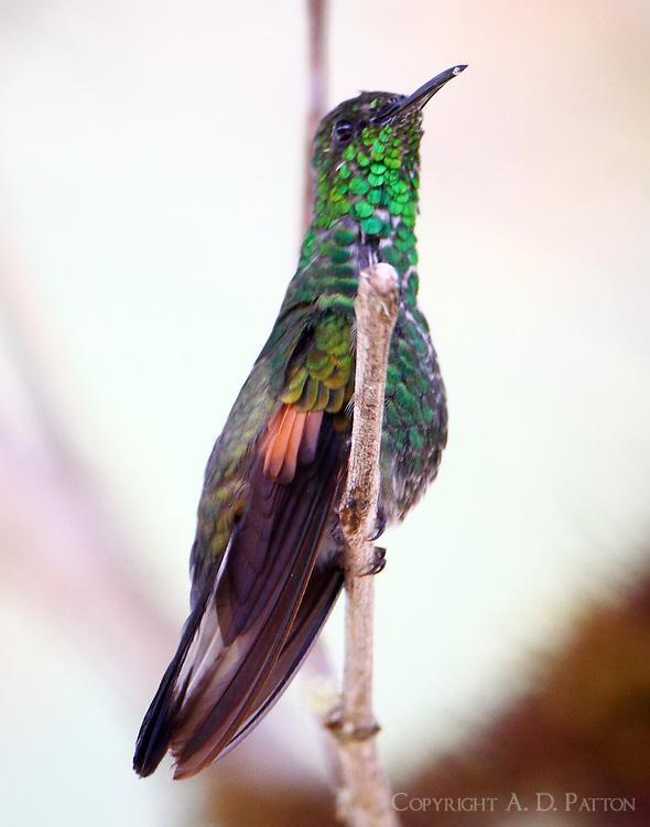 Stripe-tailed hummingbird male