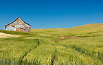 These tracks in the wheat lead to an old barn in the Palouse farmland in Eastern Washington State.