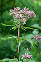Eupatorium cannabinum 'Flore Pleno', mid August. A hardy, moisture-loving, clump-forming perennial with red-tinted stems, green marijuana-like leaves, and domes of pink flowers from August to September.