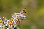 Hummingbird clearwing moth on a blackberry bush