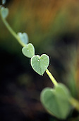 Chipundu, Zambia. Heart shaped leaf on a shoot with rain water droplets.