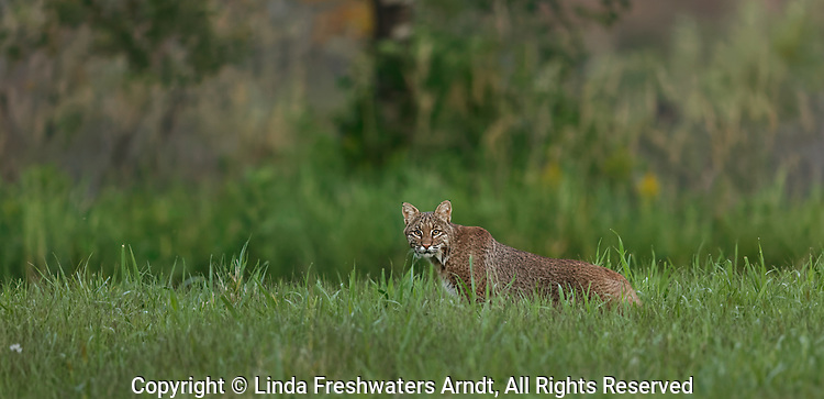 An elusive bobcat in a northern Wisconsin meadow.