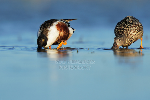 Northern Shoveler (Anas clypeata), pair feeding in lake, Dinero, Lake Corpus Christi, South Texas, USA