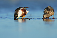Northern Shoveler (Anas clypeata), pair feeding in lake, Dinero, Lake Corpus Christi, South Texas, USA