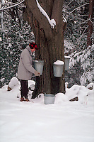 Man taking sap fom maple tree to make maple syrup. Massachusetts.