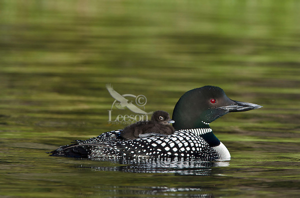 Common Loons (Gavia immer)--adult carrying young chick on its back. Northern North America, Summer.  Sometimes also called Great Northern Loon or Diver.