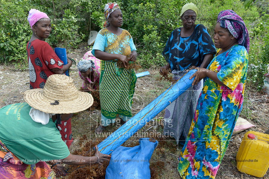 TANZANIA, Zanzibar, village Muungoni, due to climate change and rising water temperatures seaweed farmer have shifted to plant red algae farming in deep water, women prepare algae seedlings on ropes for planting
