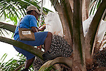 Technician manually pollinating the palm oil flowers (Elaeis quineesis Jacq) - Dami Oil Research Station produces high productivity seed planting material. Selective breeding and genetic modification are used to continually upgrade seed stock.